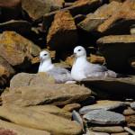 North Ronaldsay nesting fulmars. Photograph © Selena Arte