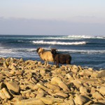 North Ronaldsay sheep on the shore of the atlantic ocean. Photograph © Selena Arte