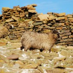 North Ronaldsay sheep in the shelter of the dyke. Photograph © SelenaArte