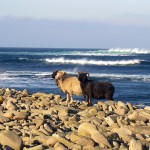 North Ronaldsay sheep with the Atlantic behind. Photograph © SelenaArte