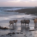 North Ronaldsay sheep walking towards the piar. Photograph © SelenaArte