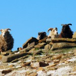 North Ronaldsay sheep high on the dyke. Photograph © SelenaArte