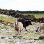North Ronaldsay sheep and lamb by the dyke. Photograph © SelenaArte