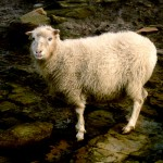 North Ronaldsay sheep portrait. Photograph © SelenaArte