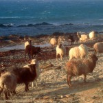 North Ronaldsay sheep near Howar. Photograph © SelenaArte