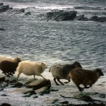 North Ronaldsay sheep running. Photograph © SelenaArte