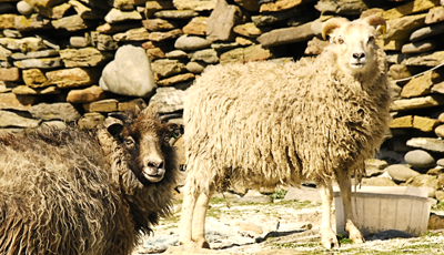 North Ronaldsay sheep home