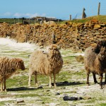 North Ronaldsay sheep within the dyke. Photograph © SelenaArte