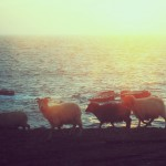 North Ronaldsay sheep at sunset on the west side. Photograph © SelenaArte