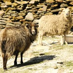 North Ronaldsay sheep by the dyke. Photograph © SelenaArte