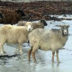 North Ronaldsay sheep, seaweed and sand. Photograph © SelenaArte