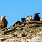 North Ronaldsay sheep high on the dyke. Photograph © SelenaArte