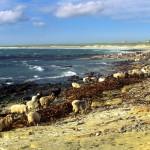 North Ronaldsay sheep gathering by seaweed. Photograph © SelenaArte