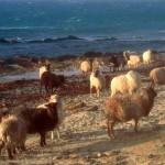 North Ronaldsay sheep near Howar. Photograph © SelenaArte