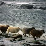 North Ronaldsay sheep running. Photograph © SelenaArte